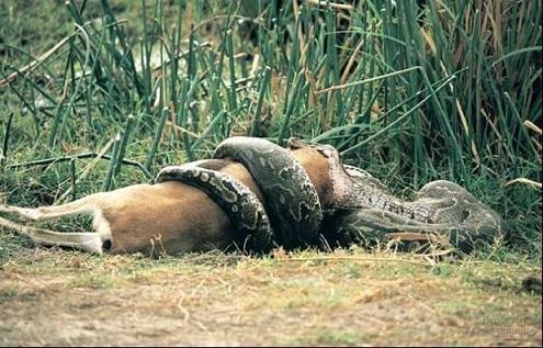 everglade anacondas eat large animals